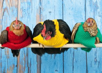 Cele mai amuzante informații despre carnea de pui
